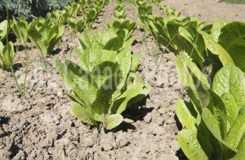 Lettuce in a garden