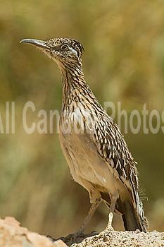 Roadrunner, Geococcyx californianus, Arizona, USA