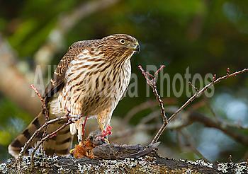 """Cooper""""s Hawk, Accipiter cooperii, eating prey (American Robin), Victoria, BC, Canada"""