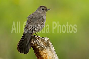 Gray Catbird, Dumetella carolinensis, Montana, USA