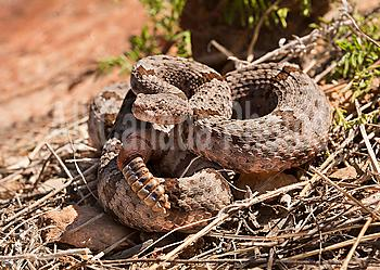 Banded Rock Rattlesnake, Crotalus lepidus klauberi, Chiricuah National Park, Arizona, USA