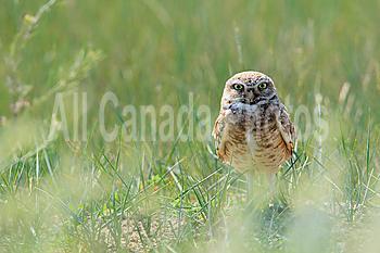 A wild burrowing owl on the prairies, Saskatchewan, Canada