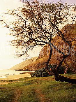 Hawaii, Oahu, West Shore, Yokohama Bay area at sunset, Tree overhanging grassy area near beach.