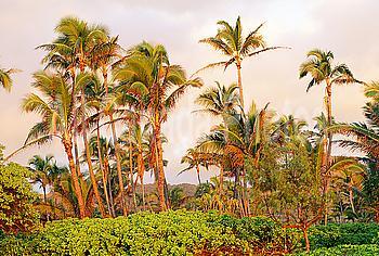 Hawaii, Kauai, Wailua, View of palm trees in soft sunlight, surrounded by greenery