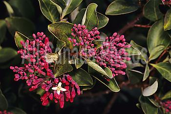 Sandalwood (Santaium haleakalae-Santalaceae) blossom, known as Iliahi.