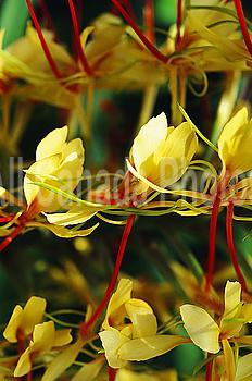 Hawaii, Big Island, Volcano Hedychium gardenerium, Kahili Ginger (Hedychium gardenianum)